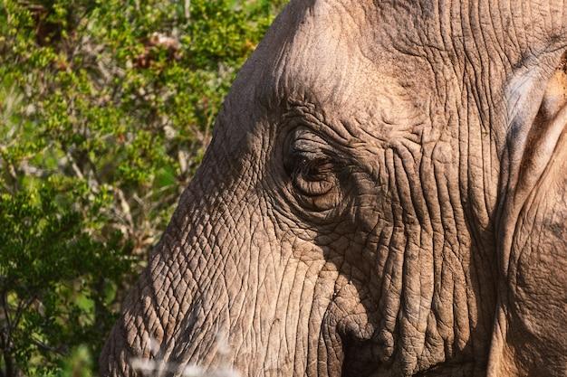 Afrykański słoń w krzakach zamyka w górę widoku w addo parku narodowym, południowa afryka
