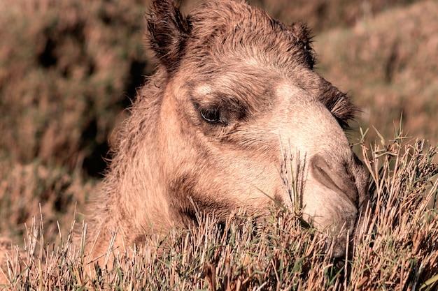 Afrykański wielbłąd na pustyni namib. zabawne z bliska. namibia, afryka