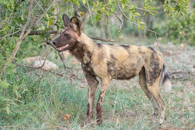 Afrykański wil dog