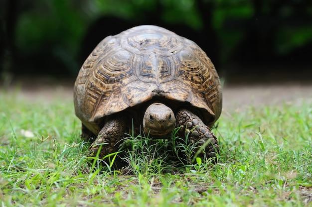Afrykański żółw w trawie
