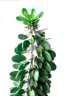 Afrykańskie drzewo mleczne. (euphorbia trigona) znana również jako kaktus katedralny, wilczomlecz abisyński, wysoki chaparall.