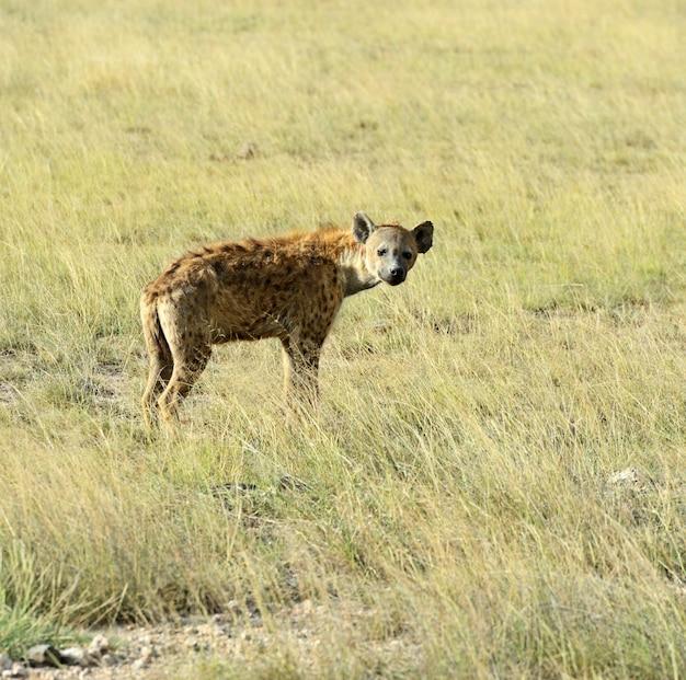 Afrykańskie hieny w parku narodowym amboseli. kenia