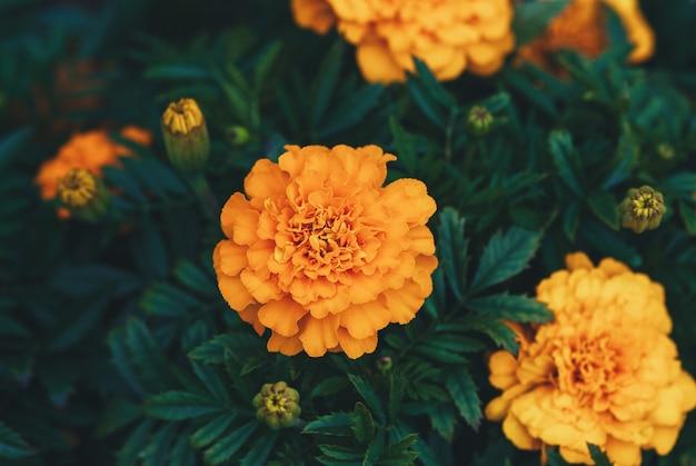 Afrykańskie pomarańczowe kwiaty nagietka