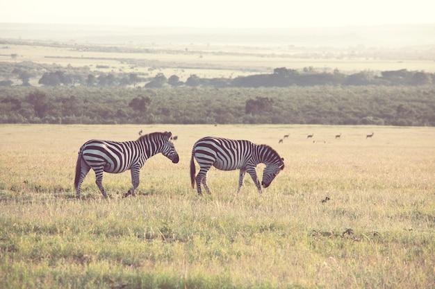 Afrykańskie zebry równinne na suchych murawach brunatnej sawanny żerują i pasą.