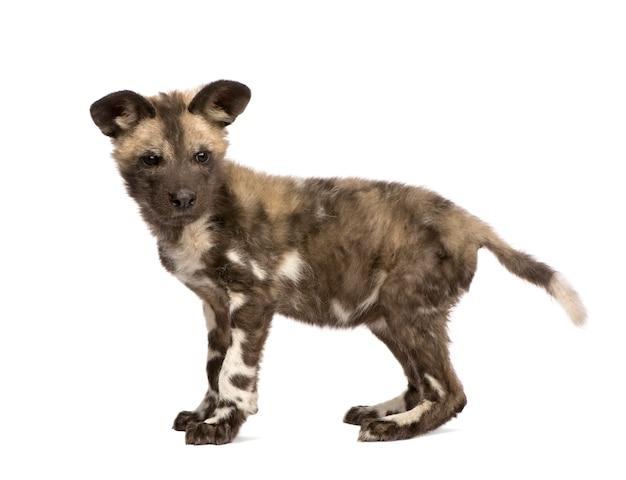Afrykańskiego dzikiego psa lisiątko, lycaon pictus na bielu odizolowywającym