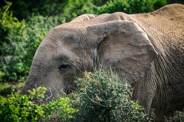 Afrykańskiego słonia łasowanie w krzakach zamyka w górę widoku w addo parku narodowym, południowa afryka