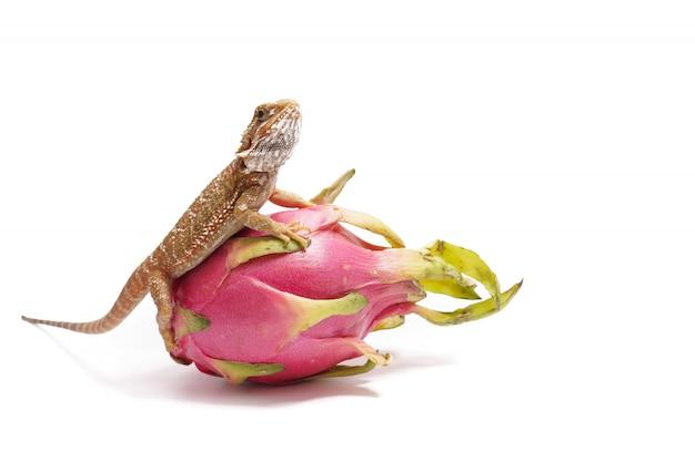 Agama siedzi na owocu pityahya (smoczego owocu) jak smok