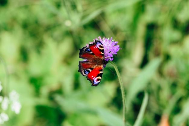Aglais io lub motyl europejski paw siedzący na różowym kwiatku