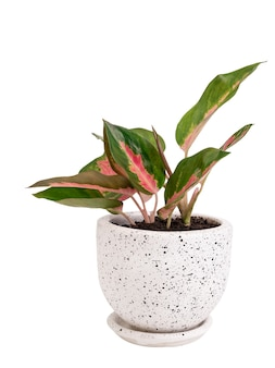 Aglaonema houseplant (chiński evergreen) w nowoczesnym białym i czarnym pojemniku ceramicznym na białym tle na białym ze ścieżką przycinającą `