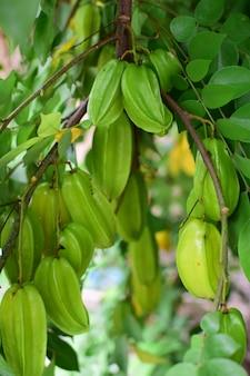 Agrest lub jabłko gwiezdne, świeży agrest na drzewie, zielone liście w ogrodzie, uprawy rolne, zdrowe owoce, słodko-kwaśny smak