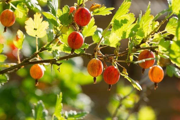 Agrest. świeży i dojrzały agrest ekologiczny na gałęzi