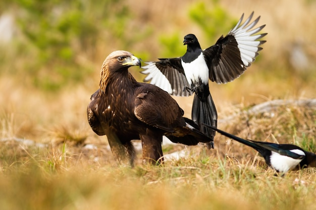 Agresywna sroka eurazjatycka atakuje złotego orła w locie