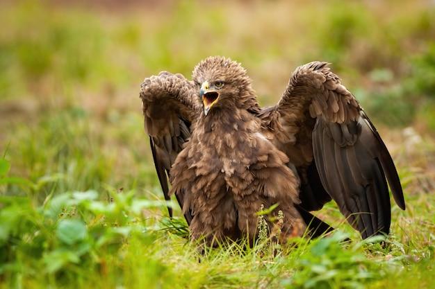 Agresywny orlik krzykliwy, clanga pomarina, pisk ze skrzydłami otwartymi na zielonej łące. dziki dziki ptak drapieżny dzwoni latem od frontowego widoku. dzika przyroda zwierząt w przyrodzie.