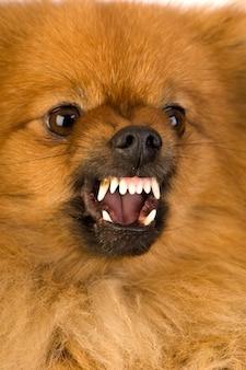 Agresywny szpic z 3 latami. portret psa