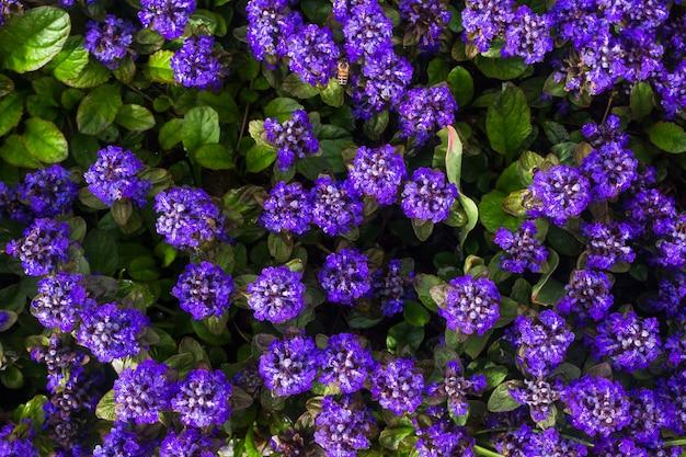 Ajuga reptans, zielna roślina kwitnąca