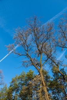 Akacja jesień bez liści na tle błękitnego nieba