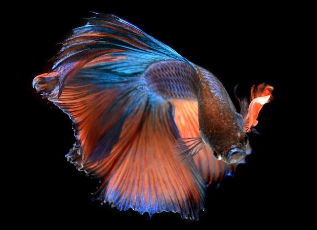 Akcja haft moon tail pomarańczowo-zielona ryba betta lub zdjęcie bojownika syjamskiego w oświetleniu flash studyjnym.