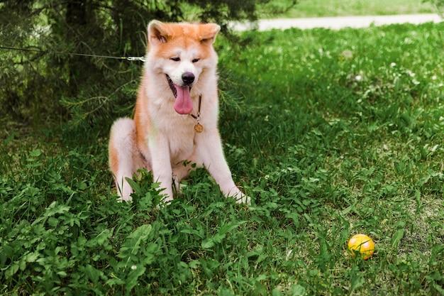 Akita inu pies siedzi szczęśliwy w zielonym lesie z małą żółtą kulką.