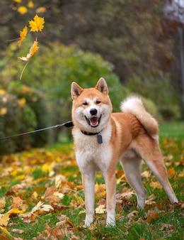 Akita inu pies w odprowadzeniu w jesień liści parku