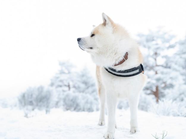 Akita inu pies z uprzężą, na śniegu