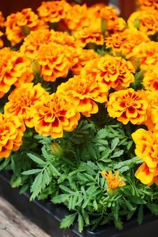 Aksamitka francuska nagietka w rozkwicie, pomarańczowo-żółte kwiaty, zielone liście