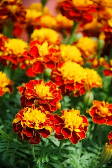 Aksamitka patula w rozkwicie nagietka francuskiego, kwiaty pomarańczowożółte, liście zielone, roślina doniczkowa mała