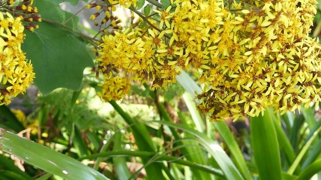 Aksamitne żółte kwiaty, kalifornia, usa. roldana petasitis kwitną wiosną. domowe ogrodnictwo, amerykańska dekoracyjna ozdobna roślina doniczkowa, naturalna atmosfera botaniczna. żywy wiosenny kwiat