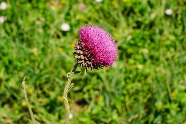 Aksamitny różowy kwiat oset zielonej trawy z bliska.