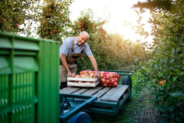 Aktywny starszy mężczyzna rolnik aranżacji świeżo zebranych owoców jabłka w sadzie.