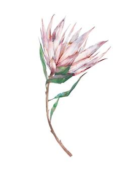 Akwarela biały kwiat protea. ręcznie malowane egzotyczne rośliny na białym tle. botaniczna ilustracja lato flory