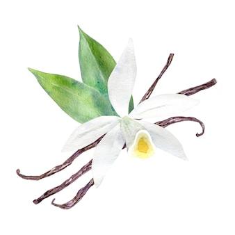 Akwarela biały kwiat wanilii
