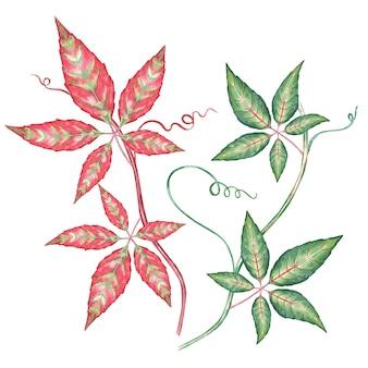 Akwarela bluszcz pnącze