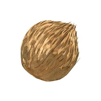 Akwarela cały kokos na białym tle