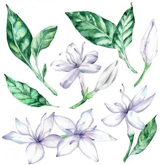 Akwarela clipart białych kwiatów kawy i zielonych liści.
