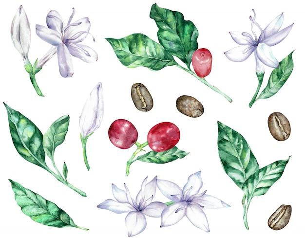 Akwarela clipartów białych kwiatów kawy, zielonych liści, czerwonych jagód i fasoli.