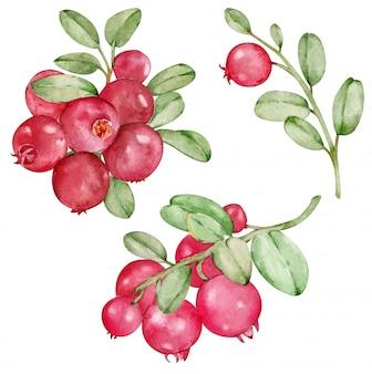 Akwarela clipartów z czerwonej borówki czarnej na białym tle na białym tle. ręcznie rysowane dzikie jagody.