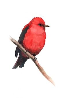 Akwarela czerwony kardynał ptak na gałęzi