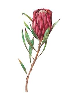 Akwarela czerwony kwiat protea. ręcznie malowane egzotyczne rośliny na białym tle. botaniczna ilustracja lato flory