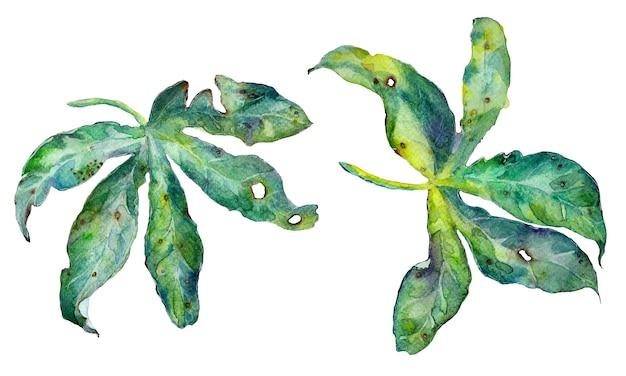Akwarela egzotycznych liści passiflory