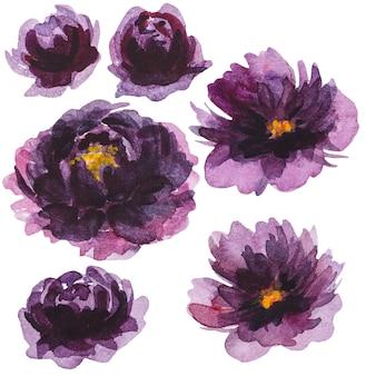 Akwarela fioletowe kwiaty piwonii ilustracje na białym tle