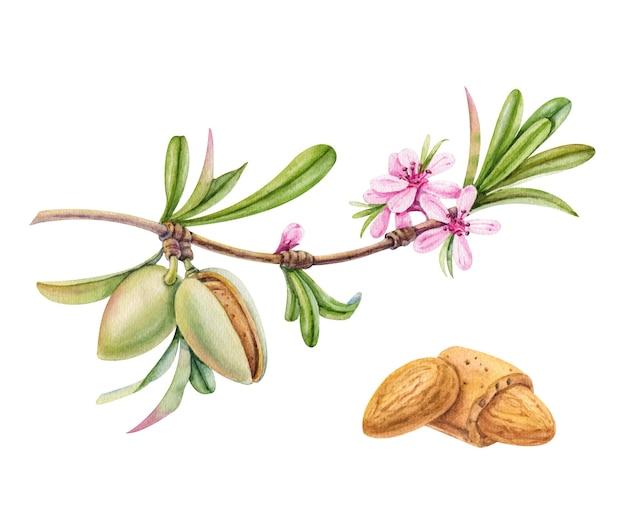 Akwarela gałąź migdałów z kwiatami i orzechami