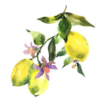 Akwarela gałąź świeżej cytryny, owoców cytrusowych, zielonych liści i kwiatów