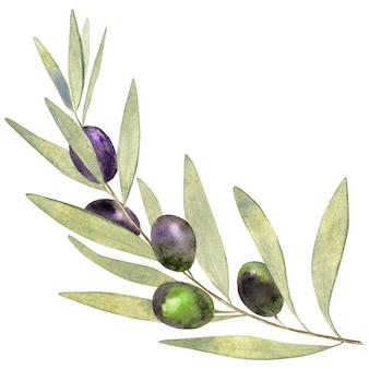 Akwarela gałązka oliwna na białym tle