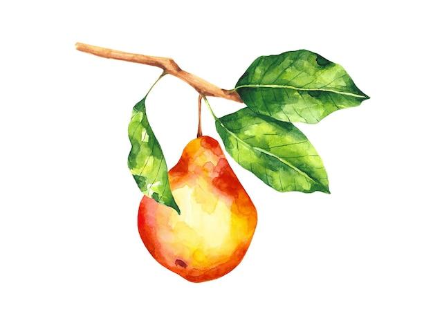 Akwarela gruszka gałąź ilustracja kompozycja owocowa na białej czerwonej gruszce