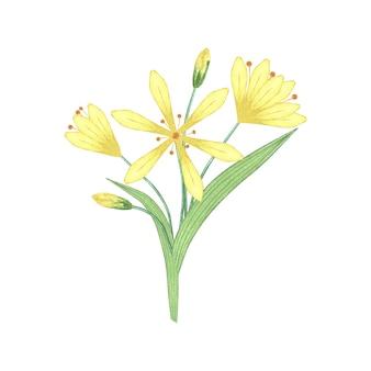 Akwarela ilustracja botaniczna kwiatów lilii.