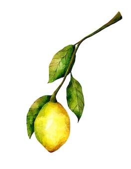 Akwarela ilustracja gałęzi cytryny cytryna na białym tle owoce cytrusowe clipart