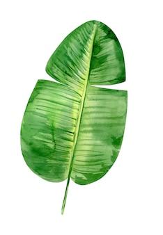 Akwarela ilustracja tropikalny bananowy liść palmowy