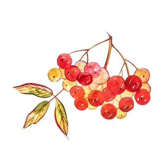 Akwarela ilustracje liści i jagód jarzębiny, ręcznie rysowane kompozycje kwiatowe na białym tle.
