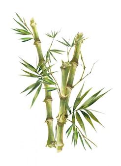 Akwarela ilustracyjny obraz bambusowi liście na białym tle ,.