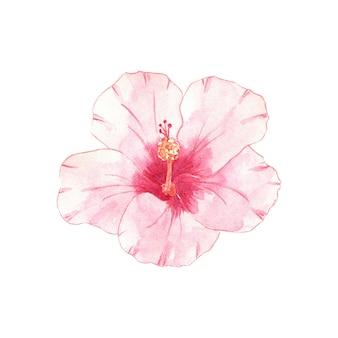 Akwarela kwiat hibiskusa na białym tle